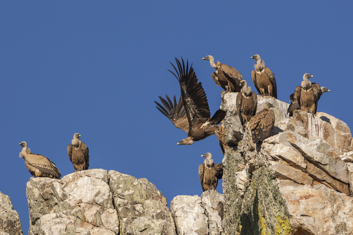Griffon vultures are just one of the many bird species to look out for in Monfragüe National Park © Javier Fernández Sánchez - Getty Images